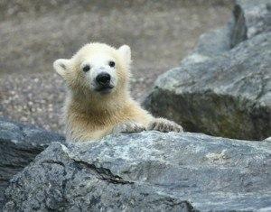 Der Eisbaer Knut wurde zum Medienstar