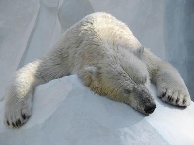 Ein schlafender Eisbär liegt auf einem kleinen Eisberg.