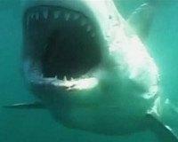 Australien: Haie warnen vor sich selbst