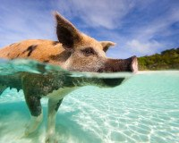 Schwimmendes Schwein am Strand
