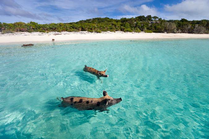 Schweine auf Schwimmtour im Ozean