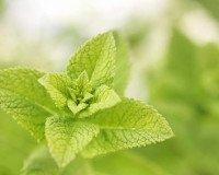 Helfer aus der Natur - Zitronenmelisse als Pflegezusatz