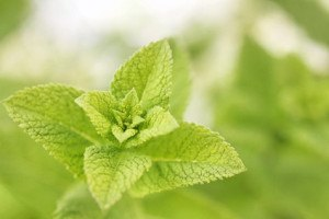 Sowohl Lippenpflege als auch Badehilfe kann das grüne Kraut sein
