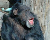 Singender Schimpanse