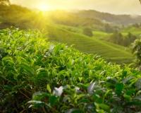 Grüner oder schwarzer Tee: Was sind die Unterschiede?