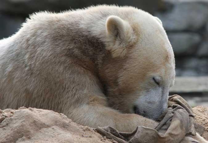 Knut-Fanclub macht zum ersten Todestag mobil